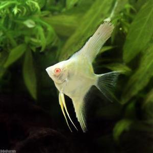 (熱帯魚)アルビノスカラレ・エンゼルフィッシュ ペルー(ヨーロッパブリード)(1匹)  北海道・九州・沖縄航空便要保温