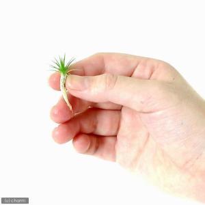 (水草)日本産ホシクサSサイズ(キネレウム)(無農薬)(1株)|chanet