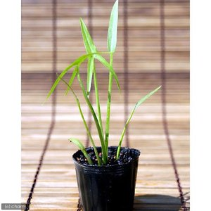 (ビオトープ)水辺植物 オモダカ(1株) (休眠株)