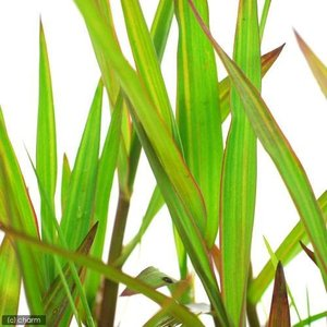 (ビオトープ)水辺植物 ベニフヒメアシ(1ポット分) (休眠株)