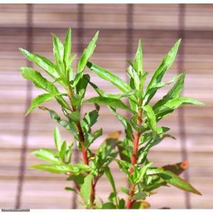 (ビオトープ)水辺植物 タコノアシ(1ポット) (休眠株)