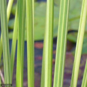 (ビオトープ)水辺植物 タテジマフトイ(1ポット分) (休眠株)