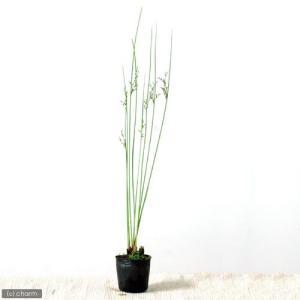 (ビオトープ)水辺植物 ブルーイグサ(1ポット分) (休眠株)