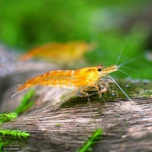(エビ)オレンジチェリーシュリンプ(18匹) 北海道・九州・沖縄航空便要保温