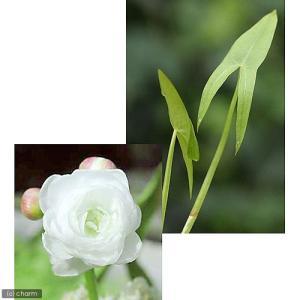 (ビオトープ)水辺植物 ヤエオモダカ(1ポット分) (休眠株)
