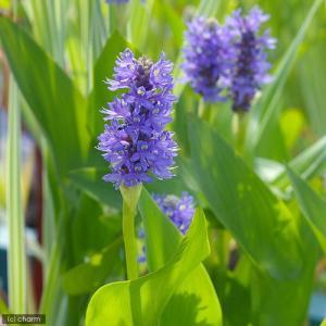 (ビオトープ/水辺植物)ポンテデリア コルダータ(青花)(1ポット分)