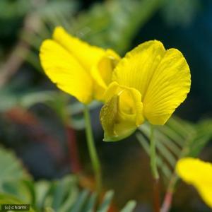 (ビオトープ/水辺植物)ミズオジギソウ 10〜20cm(1本)|chanet
