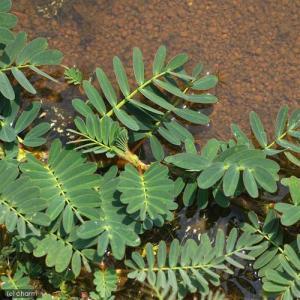 (ビオトープ/水辺植物)ミズオジギソウ 10〜...の詳細画像1