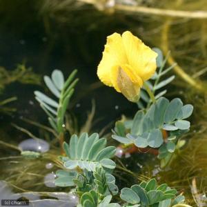 (ビオトープ/水辺植物)ミズオジギソウ 10〜...の詳細画像2