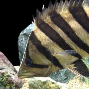 (熱帯魚)ダトニオプラスワン 25〜28cm(1匹) 北海道・九州・沖縄航空便要保温