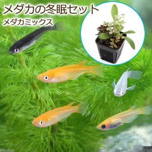 (めだか 水辺植物)メダカの冬眠セット メダカミックスメダカ付き(4匹)本州・四国限定 chanet
