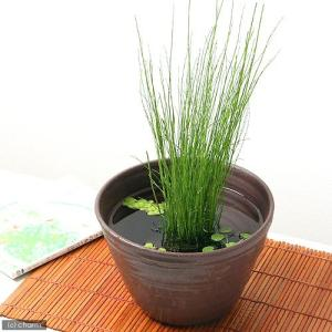 (ビオトープ)水辺植物 ミズトクサ(1ポット分) 抽水植物