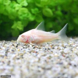メーカー:■25〜30 メーカー品番: muryotassei_800_899 _aqua 熱帯魚・...
