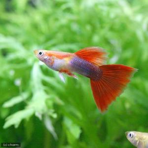 メーカー:■25〜30 メーカー品番: fish_database 熱帯魚・エビ他 グッピー 系統で...
