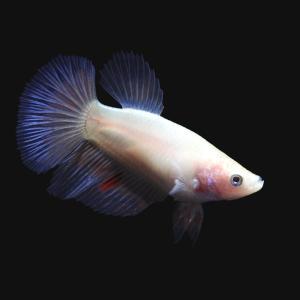 (熱帯魚)ベタ・ハーフムーン 色指定なし メス(1匹) 北海道・九州・沖縄航空便要保温