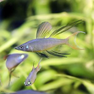 (熱帯魚)ニューギニアレインボー(12匹) 北海道・九州航空便要保温