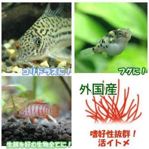 (生餌)イトメ(輸入産)イトミミズ/糸目 10g chanet
