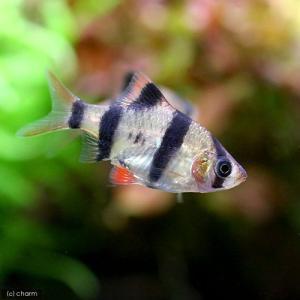 (熱帯魚)スマトラ(12匹) 北海道・九州航空便要保温