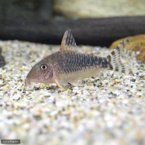 メーカー:■25〜30 メーカー品番: _aqua sfset 熱帯魚・エビ他 コリドラス セミロン...