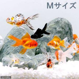 (国産金魚)オタマ金魚ミックス 6〜9cm(3匹) 北海道・九州航空便要保温|chanet