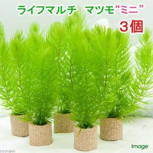(水草)ライフマルチ(茶) マツモ ミニ(無農薬)(3個)