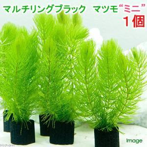 (水草)メダカ・金魚藻 マルチリングブラック(黒) マツモ ミニ(無農薬)(1個) chanet