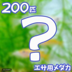 (めだか)生餌 エサ用メダカ/えさ用めだか(200匹) chanet