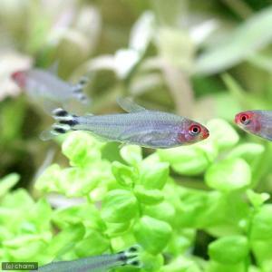 (熱帯魚)ラミーノーズ・テトラ(ブリード)(6匹) 北海道・九州・沖縄航空便要保温