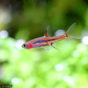 メーカー:■25〜30 メーカー品番: _aqua 熱帯魚・エビ他 コイ(ラスボラ等) 種類で選ぶ ...