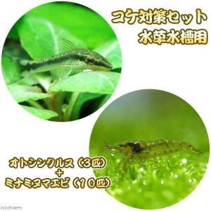 (熱帯魚・エビ)コケ対策セット 水草水槽用 オトシンクルス(3匹) + ミナミヌマエビ(10匹) 北海道航空便要保温
