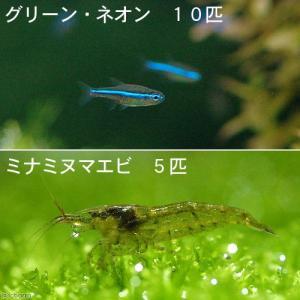 (熱帯魚)グリーンネオンテトラ(10匹) + ミナミヌマエビ(5匹) 北海道・九州・沖縄航空便要保温