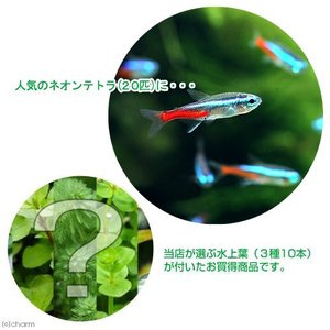 (熱帯魚 水草)ネオンテトラ(20匹) +おまかせ水上葉3種セット 計10本  北海道・九州・沖縄航空便要保温