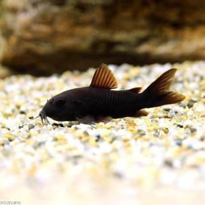 メーカー:■25〜30 メーカー品番: sfset _aqua 熱帯魚・エビ他 コリドラス ショート...