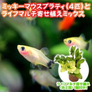 メーカー:■25〜30 メーカー品番: 熱帯魚・エビ他 プラティ・卵胎生メダカ プラティの仲間 ミッ...