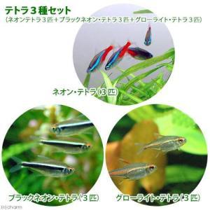 (熱帯魚)テトラ3種セット(ネオンテトラ3匹+ブラックネオン・テトラ3匹+グローライト・テトラ3匹) 北海道・九州・沖縄航空便要保温