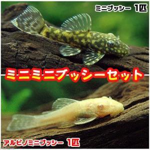 (熱帯魚)ミニミニブッシーセット(ミニブッシープレコ1匹+アルビノミニブッシー1匹)(計2匹) 北海...