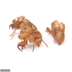 (昆虫)セミの抜け殻(5個)|chanet