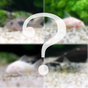(熱帯魚)おまかせコリドラス(5匹) 北海道・九州・沖縄航空便要保温