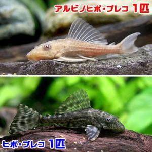 (熱帯魚)ヒポ・プレコ(1匹)+アルビノヒポ・プレコ(1匹) 北海道・九州航空便要保温