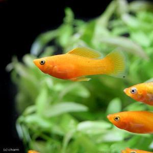 (熱帯魚)ディープオレンジ・モーリー(5匹) 北海道・九州・沖縄航空便要保温