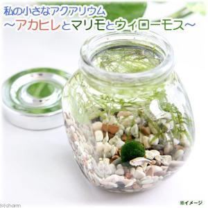(熱帯魚 水草)私の小さなアクアリウム アカヒレボトルセット 〜マリモとウィローモス〜(1セット)説明書付 本州・四国限定|chanet