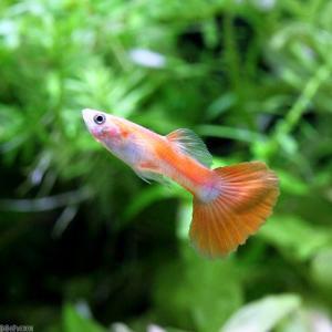 (熱帯魚)フラミンゴ・グッピー(外国産)(3ペア) 北海道・九州・沖縄航空便要保温