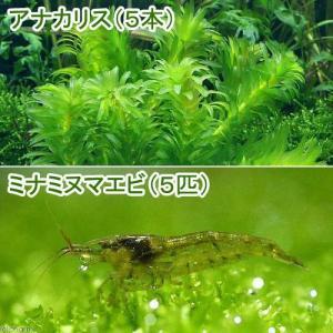 (エビ 水草)ミナミヌマエビ(5匹)+国産 無農薬アナカリス(5本) 北海道航空便要保温|chanet