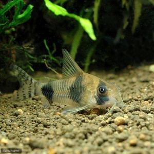 メーカー:■25〜30 メーカー品番: sfset _aqua 熱帯魚・エビ他 コリドラス ラウンド...