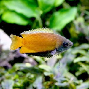 メーカー:■25〜30 メーカー品番: _aqua fish_database 熱帯魚・エビ他 グラ...