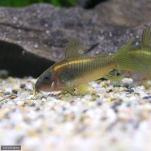 (熱帯魚)コリドラス・イルミネータス ゴールド(ブリード)(3匹) 北海道・九州航空便要保温