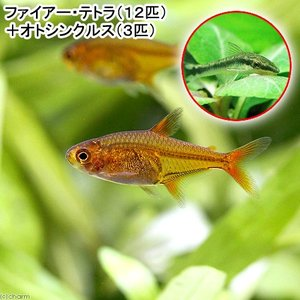 (熱帯魚)ファイアー・テトラ(12匹) + オトシンクルス(3匹) 北海道・九州・沖縄航空便要保温