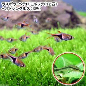 (熱帯魚)ラスボラ・ヘテロモルファ(12匹) + オトシンクルス(3匹) 北海道・九州航空便要保温
