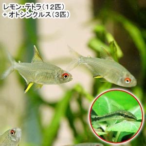 (熱帯魚)レモン・テトラ(12匹) + オトシンクルス(3匹) 北海道・九州・沖縄航空便要保温