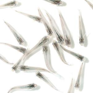 メーカー:■0〜25 メーカー品番: _aqua sfset Oryzias latipes var...